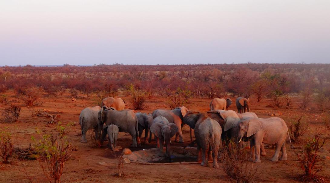 A group of elephants is drinking from the waterhole built by the volunteers of the Wildlife Conservation project in Botswana